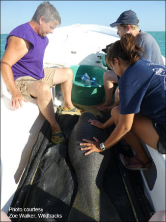 Sandy, an orphaned manatee calf, is rescued in Belize.