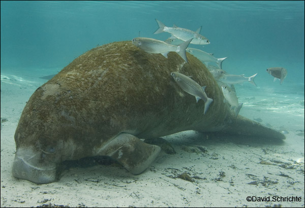 Manatee with algae on its back. David Schrichte manatee photo.
