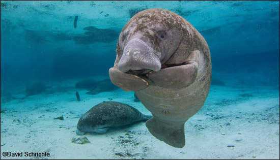 David Schrichte manatee photo
