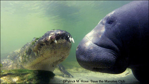 Manatee and alligator