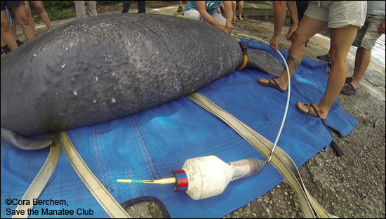 A manatee is fitted with a tracking device.