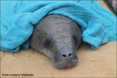 Hope, a manatee calf rescued in Belize