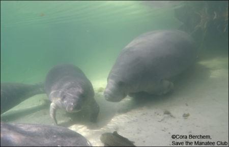 Una the manatee and her calf