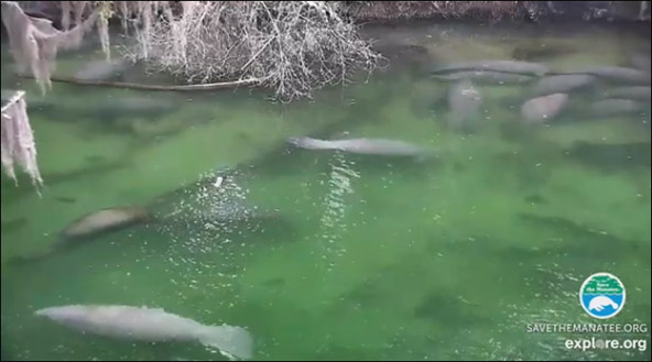 manatees on the webcam at Blue Spring State Park