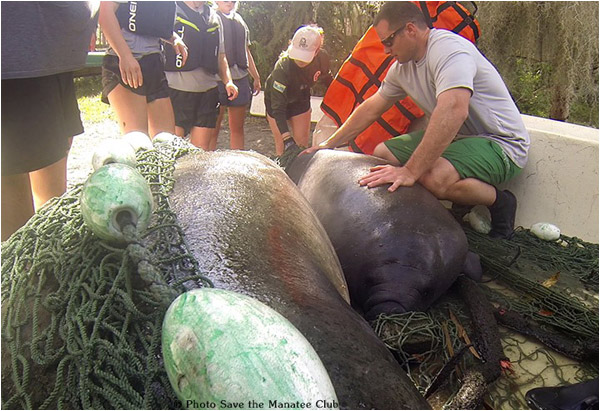 Una the manatee and her calf are rescued at Blue Spring State Park.