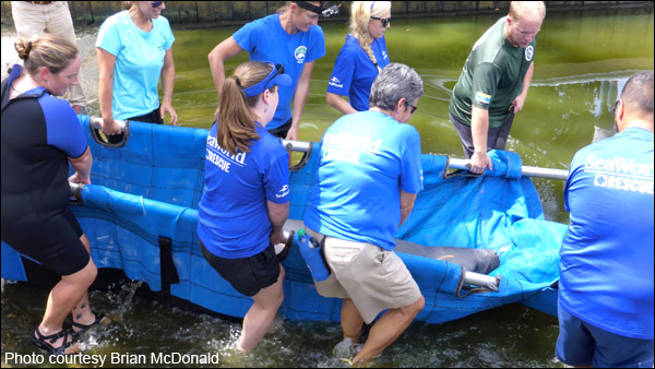 Bago the manatee is released into the wild.