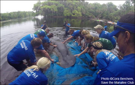 Streak the manatee is released into the wild at Blue Spring State Park.