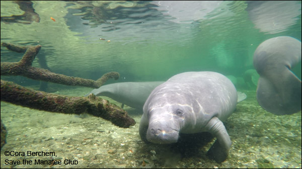 Whiskers the manatee