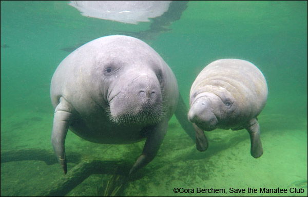 Amber the manatee and her calf.