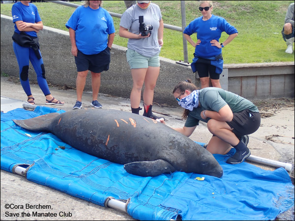 Jesup the manatee is released