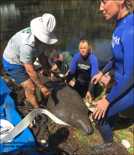 Jesup the manatee is rescued.