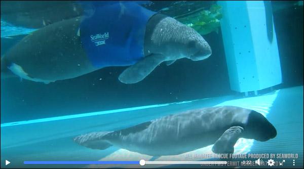 Manatee mom and newborn calf at SeaWorld Orlando.