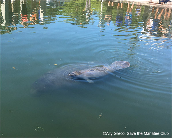 Manatee Siesta and her calf swim together after release.