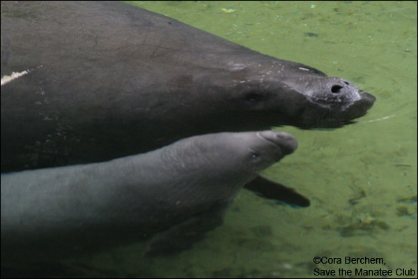 Phyllis the manatee and her calf