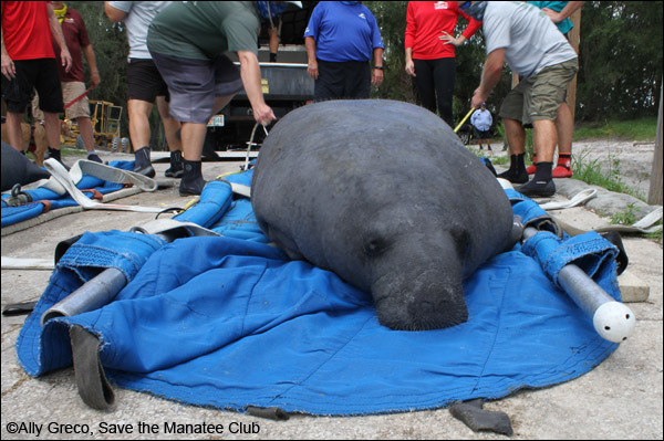 Una the manatee before her release.