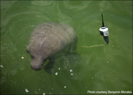 Daniel the manatee wearing a tagging device in Mexico.