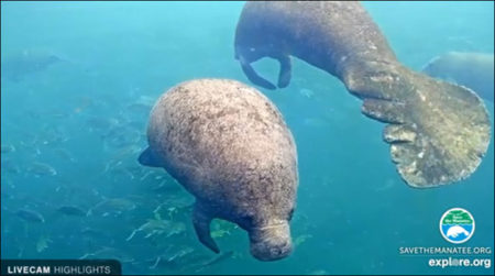 Manatee on the webcams at Ellie Schiller Homosassa Springs Wildlife State Park