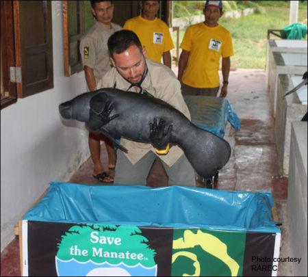 Rescued manatee calf in Peru.