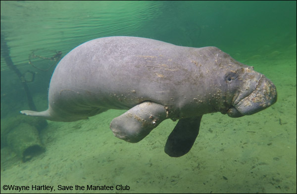 A manatee showing signs of cold stress