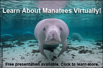 Learn About Manatees Virtually