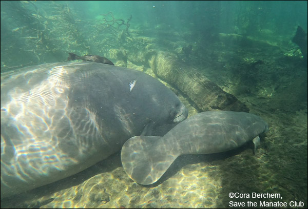 Phyllis the manatee and her newest calf.