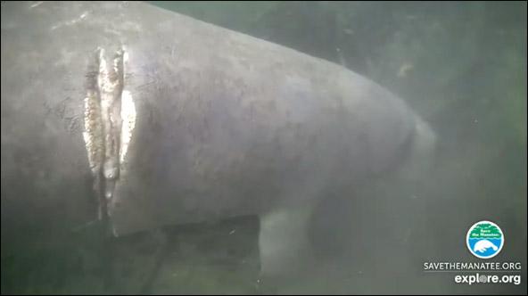 Schwinn the manatee on the webcams