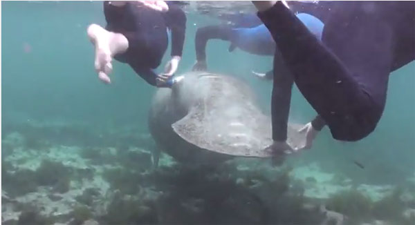 A manatee being harassed.