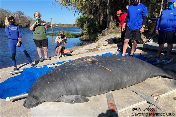 Manatee Lesley awaits release back into the wild in January 2021.