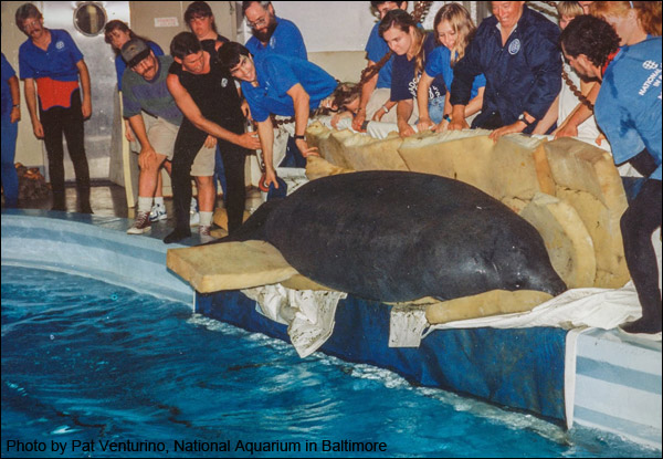 Chessie the manatee in 1994 at the National Aquarium in Baltimore.