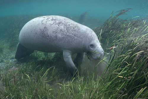 Manatee eating eelgrass