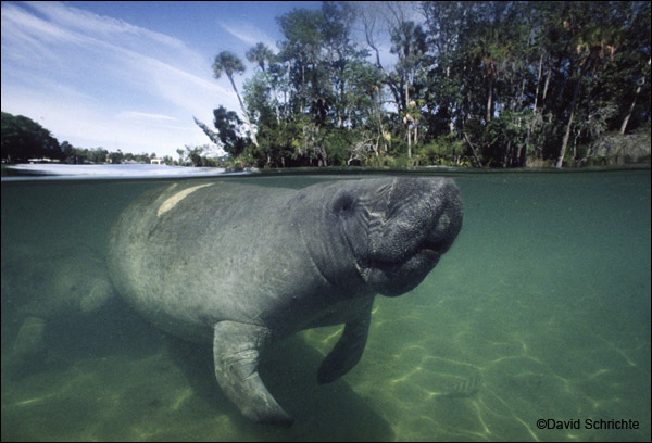 Manatee with scar from boat hit.