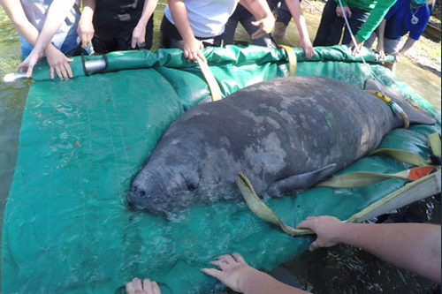 Ralphie the manatee is released at Blue Spring State Park