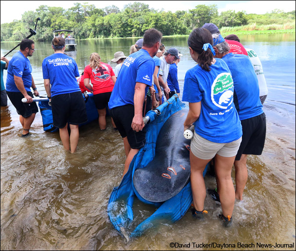 Mandy and Manilow the manatees are released at Blue Spring State Park.