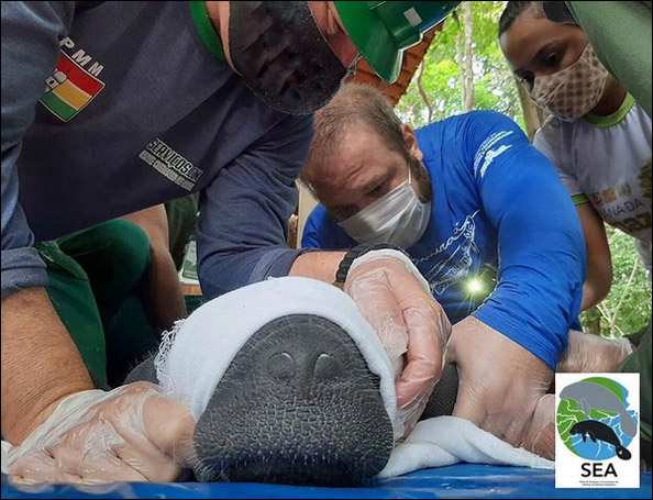 A rescued manatee calf in Brazil is assessed by SEA team members.