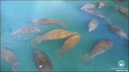 Manatees on the above-water webcams at Ellie Schiller Homosassa Springs Wildlife State Park