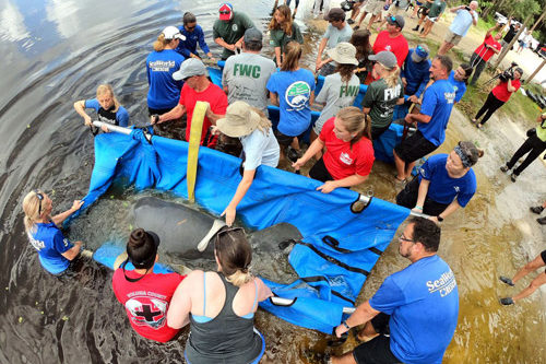 Manatees Mandy and Manilow are released